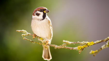 he: He is sparrow on the tree. Stock Photo