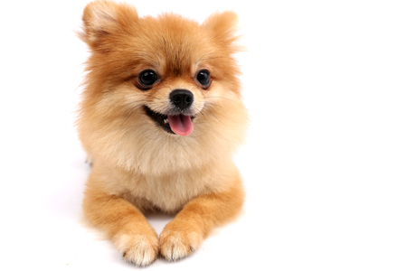 Pomeranian with white backdrop. Stock Photo
