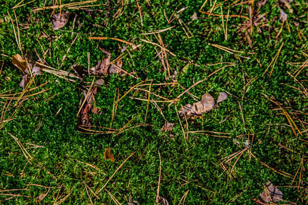 Background of moss pine needles in the forest