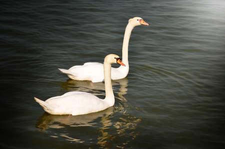 lake district: couple swan Stock Photo