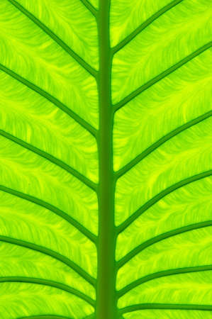the close up texture of  yellow green taro leaf under the sunlight Stock Photo