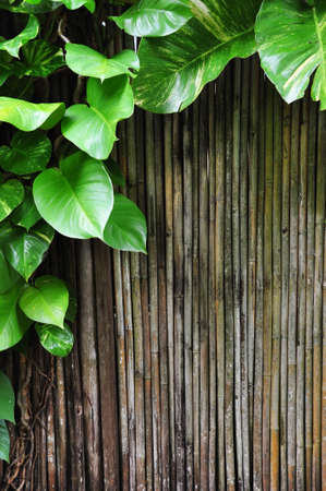 the fresh green climber plants and bamboo stick for design and background photo
