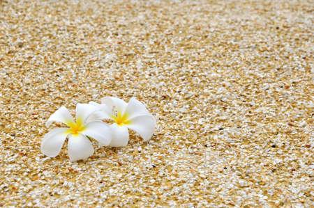the plumeria on the sand near the beach photo