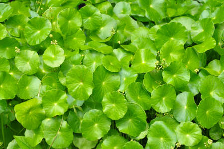 the green pennywort plant for natural background Stock Photo