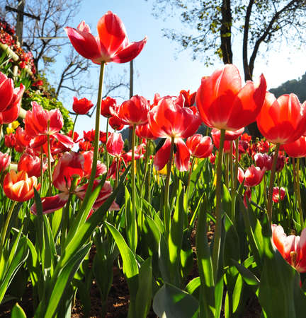 the white red tulip flowers in the garden