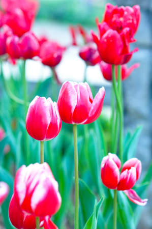 the pink red tulip flowers in the park