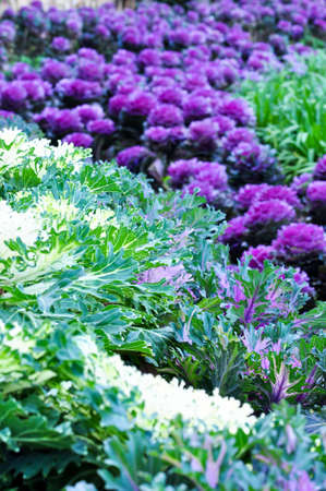 the two different color of the cabbage flowers on the feild Stock Photo