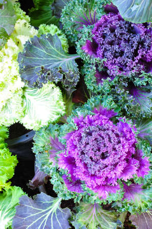 ornamental horticulture: The beautiful purple cabbage flowers