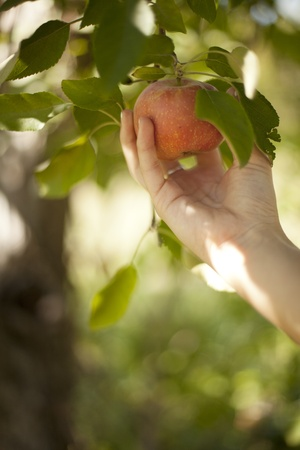 A woman picks an apple of a tree at an orchard.  Imagens