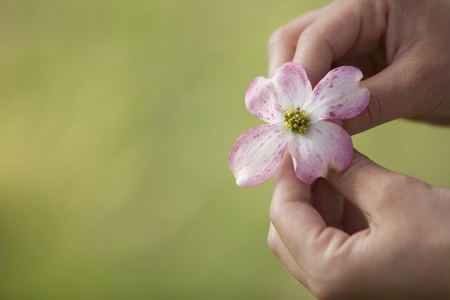 dogwood tree: Girl holding a bloom from a dogwood tree in the spring
