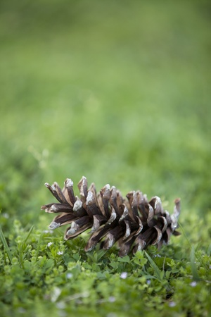 Pinecone sitting on the ground in the spring   photo