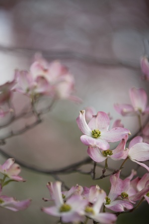 Blossoms on a Dogwood tree in the spring