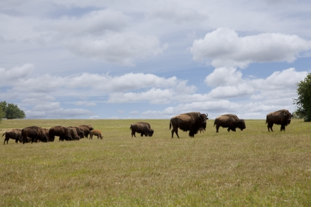 Herd of buffalo grazing in an open field   版權商用圖片