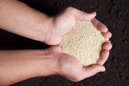 A pair of cupped hands are holding dried quinoa over a bed of dirt Stock Photo - 15398439