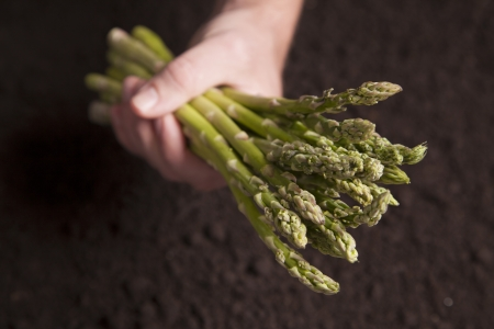 One hand grasps a cluster of asparagus over a bed of dirt  Stock Photo - 15398413