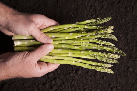 asparagus bed: A man holds a cluster of asparagus over a bed of dirt  Stock Photo
