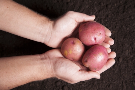 earth handful: Two hands are holding a group of potatoes over a bed of rich dirt