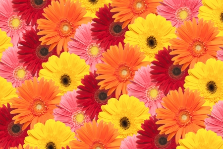 An arrangement of daisies are grouped together to form a colorful background