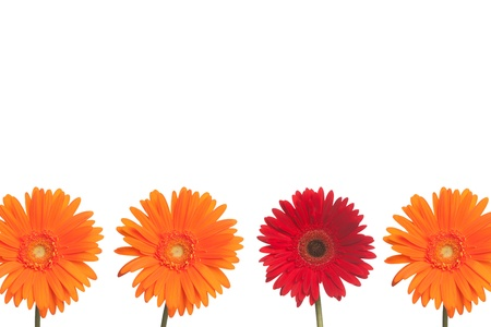 One red daisy stands out from three orange daisies on a white background  Stock fotó