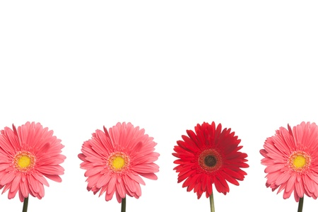 One red daisy stands out from three pink daisies on a white background  Stock fotó