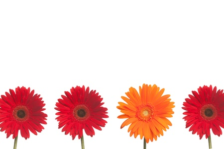 One orange daisy stands out from three red daisies on a white background  Stock fotó