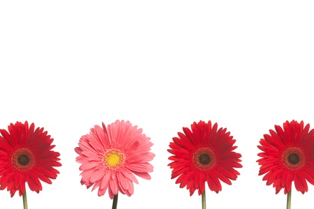 One pink daisy stands out from three red daisies on a white background