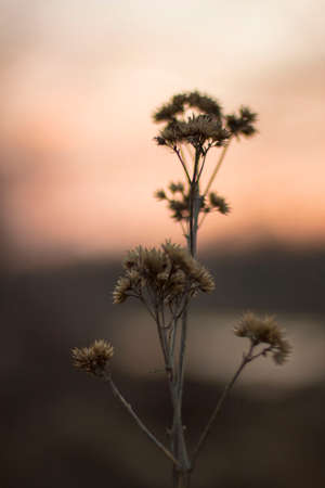 Sunset photograph of a Plant towards the end of winter. Stock Photo