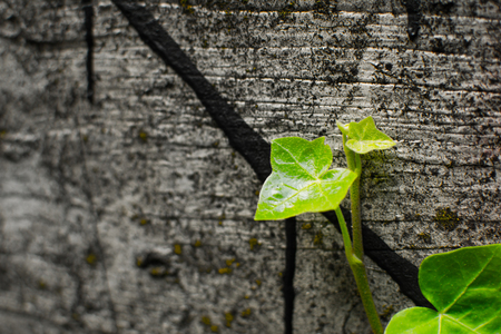 Green ivy climbing on old concrete wall on building is nature coming back with ivy plant and close up small leaves