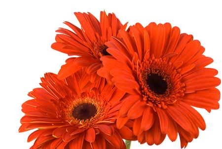 Three  gerber in a bouquet isolated on white background with copy space Stock Photo - 4491506