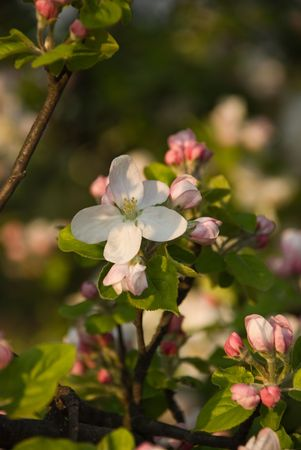 Apple tree blossom with few little flowers in front of image Stock Photo - 4676220