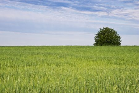 One tree and green field of oats in the morning summer  photo