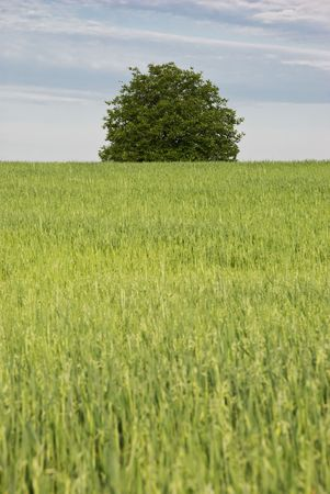 Lonely tree in the middle of green field grass  ,selective focus on tree photo