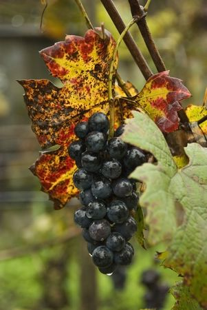 Black grape with colorful leaves in rain in vineyard,late autumn photo
