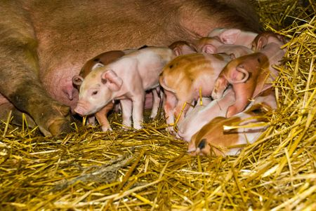Close up of many little  piglets crowded around mothers breast trying to feed in first hours of life.They having less then 12 hours of life photo