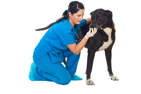 Veterinarian giving a pill to a great dane dog isolated on white background photo