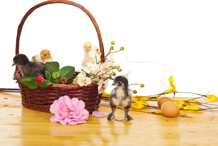 Basket with colorful little fluffy chicks and different flowers on a wood table against white background photo