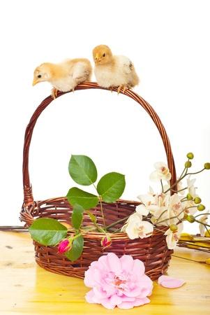9730018-deux-poulet-peu-reposant-sur-une-poignee-de-panier-avec-des-fleurs-sur-fond-blanc.jpg