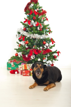 Laughing dog with natural look lying down on floor by Christmas tree and presents photo
