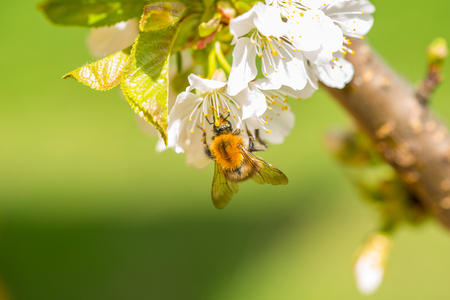 humble: Close up of a bumble-bee pollinate cherry flowers in a tree in sunny day