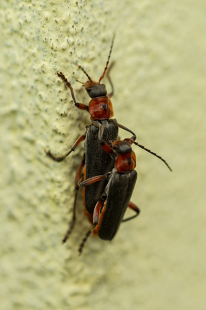 Two lfireflies mating on a wall Stock Photo