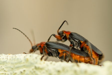 Detail of two fireflies coupling on a wall in day light