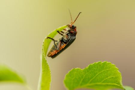 Detail of lighting bug on leaf in day light garden