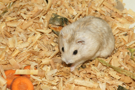 sawdust: Cute hamster in sawdust wooden house