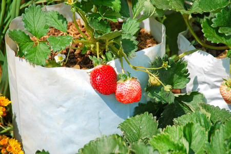 favorite colour: Fresh strawberry with green leaves in farm at Chiangmai, Northern Thailand.