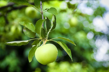 Growing green apple ripens on a branch in the garden Reklamní fotografie