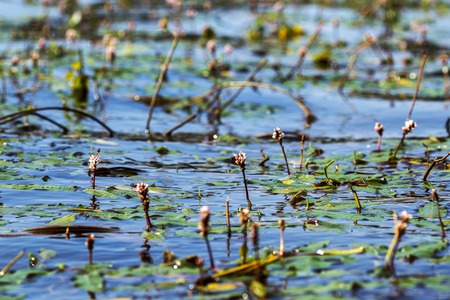 swamp vegetation on the lake in water