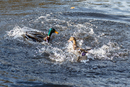 two ducks are actively playing in the river