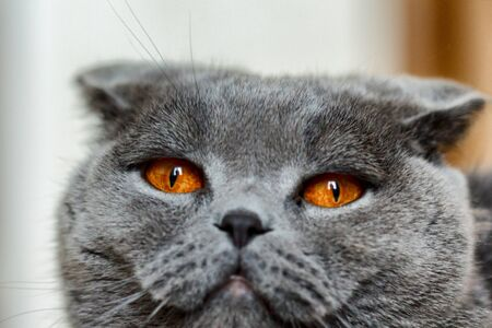 The Scottish Fold is a breed of domestic cat with a natural dominant-gene mutation that affects cartilage throughout the body, causing the ears to fold