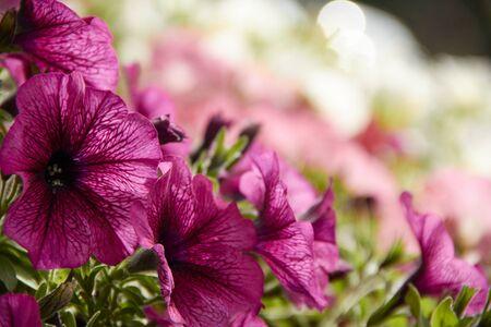 colourful petunia Petunia hybrida flowers Flowerbed with multicoloured petunias. Standard-Bild
