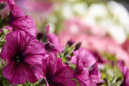 colourful petunia Petunia hybrida flowers Flowerbed with multicoloured petunias.